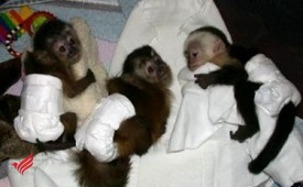 cute baby Capuchin monkeys ready to go now