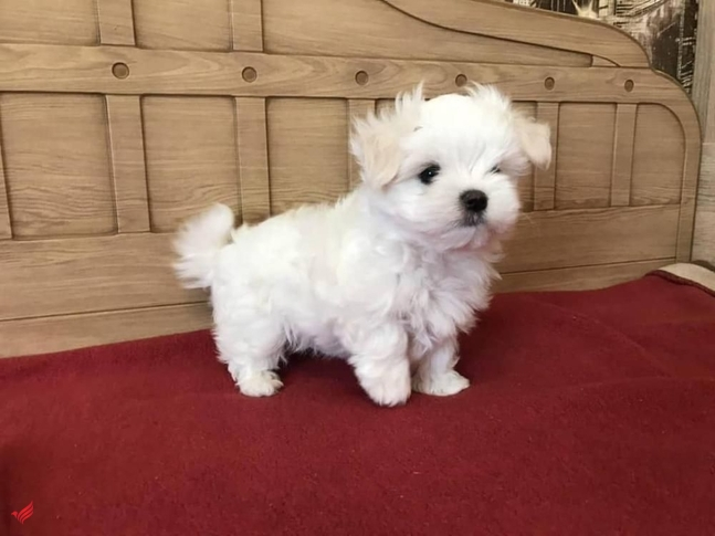 Gorgeous Teacup Maltese puppies for sale