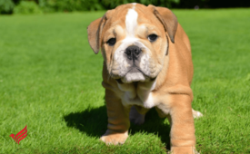 Quality english bulldog puppies