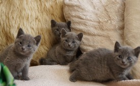 Russian blue kittens tica registered