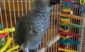 Pair African Grey Parrots Text +1 (724) 241-3049