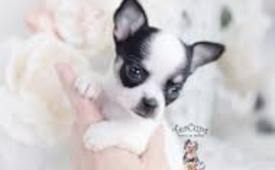 #Chihuahua puppies 4 sale#