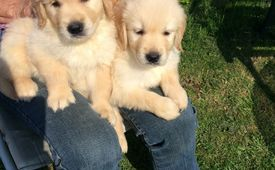 ADORABLE GOLDEN RETRIEVER PUPPIES FOR FREE ADOPTION