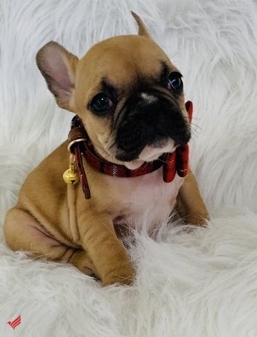 French Bulldog Puppies For Homes