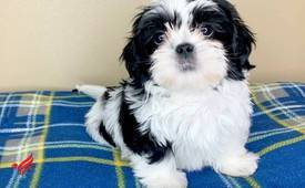 Shi Tzu Puppies Available