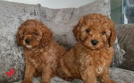 Toy Poodle Puppies Available whats app (+132333645209)