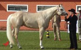 Mare palomino horse for sale