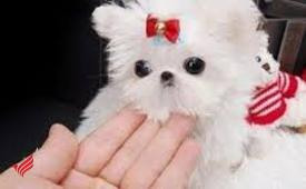 Micro tea cup maltese puppies 4 adoption