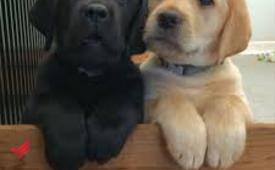 Pure labrador puppies need home