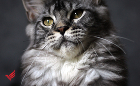 Maine coon kitten, color ns 22 + VIDEO