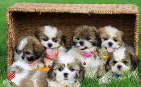 Adorable Shitz Tzu Puppies for rehoming
