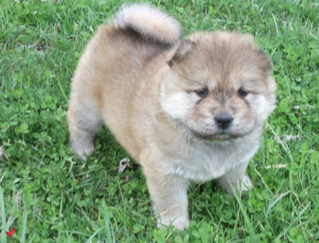 Chow Chow puppies for a loving home. whatsapp +13233645209