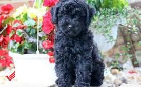 Excellent poodle puppies ready