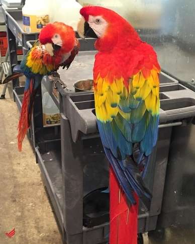 Beautiful Harlegold Macaw Parrots