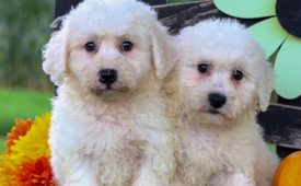 Adorable male and female Bichon frise puppies