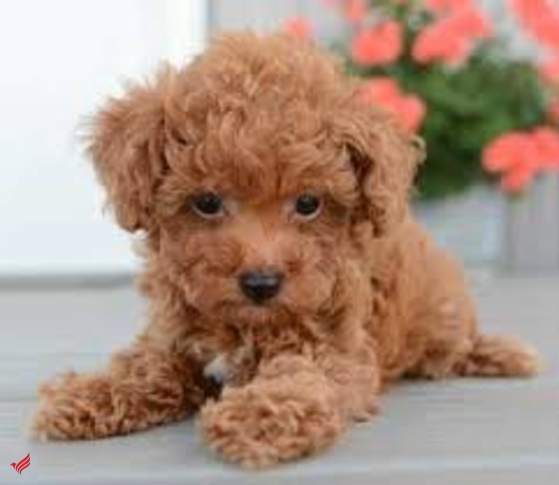 Buy poodle puppies with bitcoin