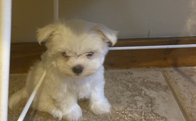Maltese dogs for adoption