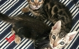 Sphynx and Bengal  cats ready