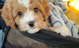 Adorable and lovely cavapoo puppies ready and set to go