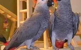 our adorable talking parrots and baby parrots are ready for adoption