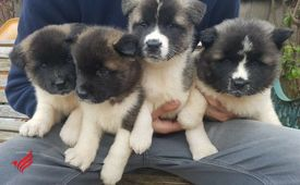 American Akita pups available male and female for sale now