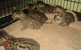 f2 savannah and Bengal kittens for adoption