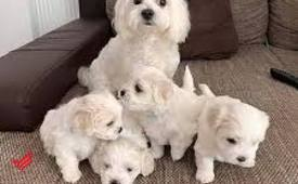 Home raised maltese puppies for rehoming contac via whatsapp: +971 543 823