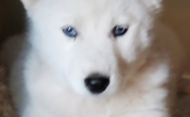 Siberian Husky dogs for adoption