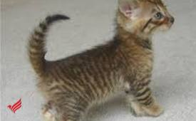 Toyger kittens for rehoming