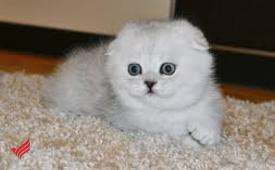Scottish fold kittens available