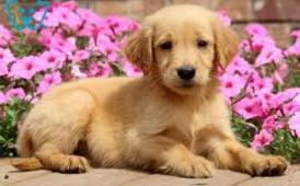 Golden retriever pups 4  adoption