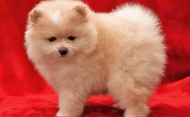 Male and Female Pomerania puppies for free Adoption