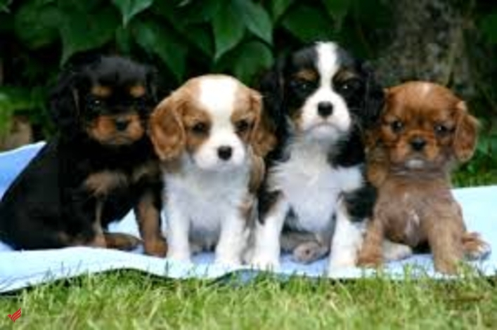 Buy cavalier king charles spaniel puppies with bitcoin