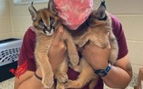 Health Caracal kittens ready for adoption