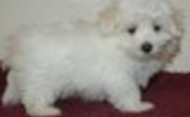 we have smart and cute maltase puppies available