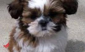 Shih tzu  ready to go