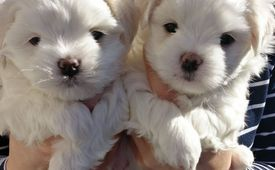 Amazing maltese puppies for adoption