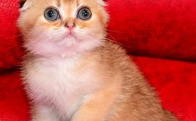 Scottish Fold Chinchilla Kittens for free Adoption