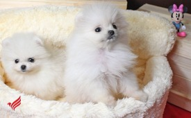 Top Quality Micro Tiny Teacup Pomeranian Puppies. whatsapp +13233645209