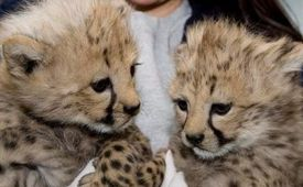 Trained cheetah cubs for adoption