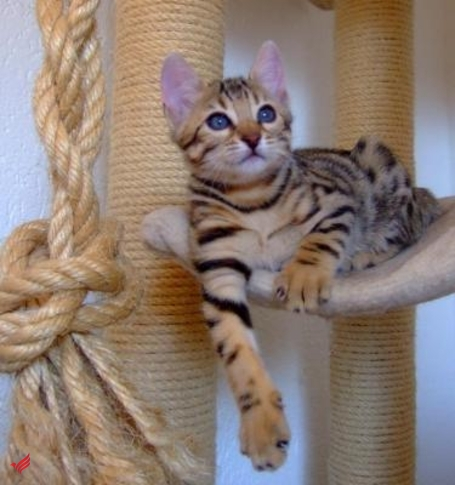 f2 savannah and Bengal kittens for rehoming