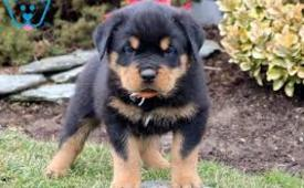 Rottweiler puppies available now