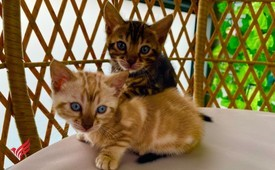 Superb Bengal kittens available