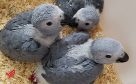 Hand Fed Parrots For adoption