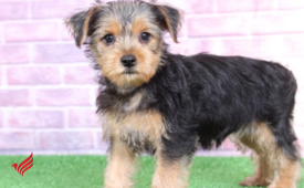 Yorkie Puppies for Rehoming whatsapp +13233645209