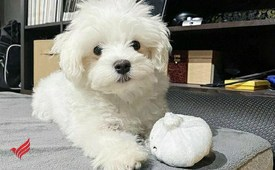Maltese puppy Ready for Adoption