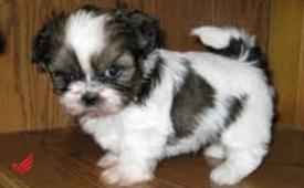 Stunning shih tzu for rehoming