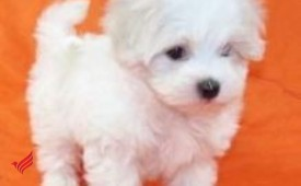 2 adorable Maltese for re homing