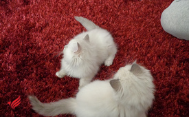Well Socialized Ragdoll Kittens For New Home