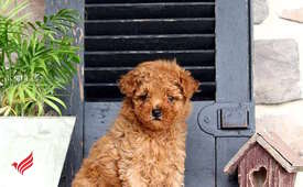 Two Teacup Toy Poodle Puppies Needs a New Family
